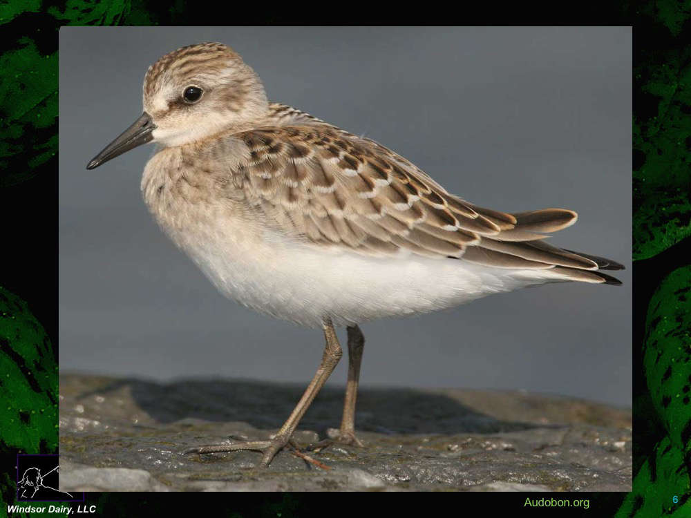 Semi-palmated Sandpipers Increase their intake of Omega-3 Prior to their 5000+ mile migration